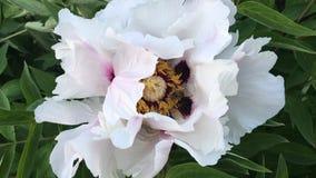 Ape nel grande germoglio del fiore bianco viola archivi video