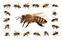 Ape o ape mellifica isolata sui precedenti bianchi fotografie stock