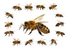 Ape o ape mellifica isolata sui precedenti bianchi immagini stock