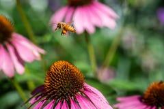 Ape occidentale del miele in volo sopra il giardino immagini stock