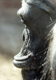 Ape Portrait Royalty Free Stock Photos