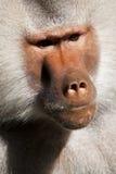 Ape portrait Royalty Free Stock Photography