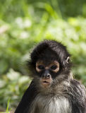 Ape portrait Stock Image