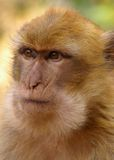 Ape portrait. Close-up portrait of Barbary ape with focused look on its face royalty free stock images