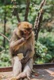 Ape portrait Royalty Free Stock Photo