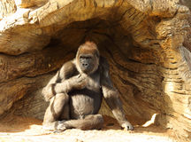 Ape Resting In Shade. An Ape Resting In The Shade Of A Root Mass Royalty Free Stock Photo