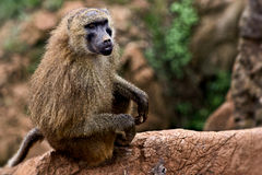 Ape scape. A bonono staring at me royalty free stock photos