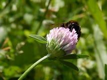 Ape selvaggia sui fiori del prato Fotografie Stock Libere da Diritti