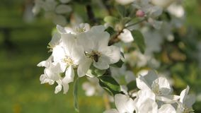 Ape selvaggia sul ramo sbocciante dell'Apple-albero Movimento lento video d archivio