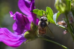 Ape simile a pelliccia con polline bianco sul fiore viola fotografie stock