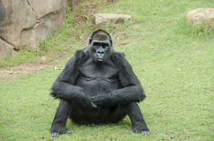 Ape sitting Royalty Free Stock Images