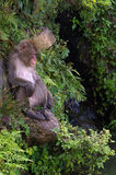 Ape sitting on a rock. An older macaque sitting next to a pond surrounded by plants stock photography