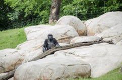 Ape sitting on rocks Stock Photography
