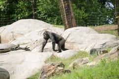 Ape sitting on rocks Royalty Free Stock Image