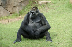 Ape sitting on rocks Stock Photo