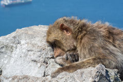 Ape sleeping on a top of Gibraltar Rock Stock Photography