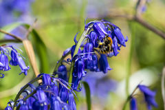 Ape su Bluebell che raccoglie polline fotografia stock