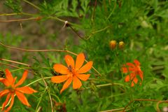 Ape su polline del fiore dell'universo fotografia stock libera da diritti