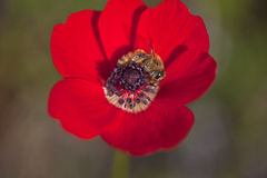 Ape su Poppy Flower Fotografia Stock Libera da Diritti