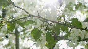Ape su un Apple-albero sbocciante stock footage