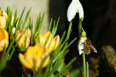 Ape su un bucaneve accanto ai croco gialli nel primo piano di primavera fotografia stock libera da diritti