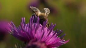Ape su un cardo selvatico del fiore stock footage