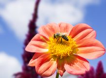 Ape su un fiore fotografie stock libere da diritti