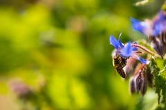 Ape su un fiore blu con bokeh fotografia stock libera da diritti