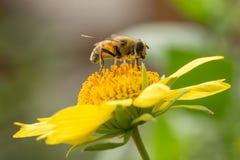 Ape su un fiore giallo Fotografie Stock