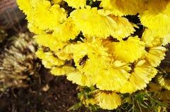Ape su un fiore giallo dell'aster Ultimi giorni soleggiati caldi fotografia stock