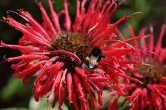 ape su un fiore Monarda Fotografia Stock Libera da Diritti