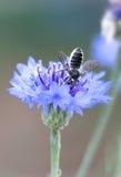 Ape su un fiore porpora Fotografie Stock Libere da Diritti