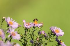 Ape su un fiore porpora su un fondo verde Fotografia Stock Libera da Diritti