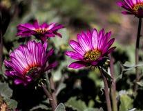 Ape su un fiore porpora nei giardini botanici reali immagine stock