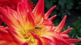 Ape su un fiore rosso e giallo video d archivio