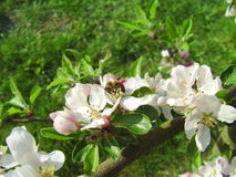 Ape su una mela del fiore fotografia stock libera da diritti