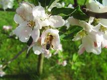 Ape su una mela del fiore fotografia stock
