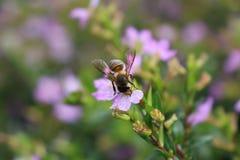 Ape sui fiori Immagini Stock Libere da Diritti