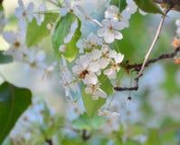 Ape sui fiori Fotografia Stock Libera da Diritti