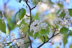 Ape sui fiori Immagine Stock Libera da Diritti