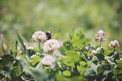 Ape sui fiori del trifoglio Fotografia Stock
