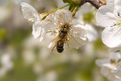 Ape sui fiori dell'albero della sorgente Fotografie Stock Libere da Diritti