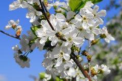Ape sui fiori della ciliegia fotografie stock libere da diritti