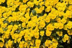 Ape sui Pansies gialli Immagini Stock