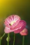 Ape sui raggi dei papaveri del sole Fotografie Stock Libere da Diritti