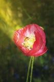 Ape sui raggi dei papaveri del sole Fotografia Stock Libera da Diritti