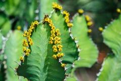 Ape sul cactus dell'euforbia con i fiori gialli Fotografia Stock Libera da Diritti