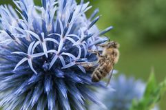 ape sul cardo selvatico in un campo Immagine Stock Libera da Diritti