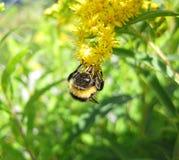 Ape sul fiore fotografie stock libere da diritti