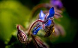 Ape sul fiore blu immagini stock